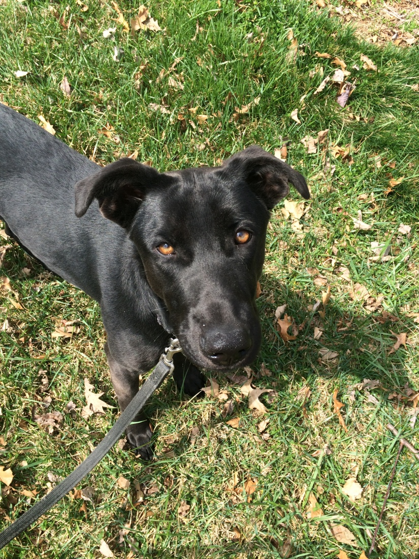 BLM (Black Lab Mix)- the Catchall Breed of Rescue Dogs