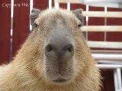 capybara nose