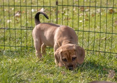 violet hound