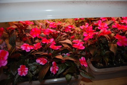 february new guinea impatiens