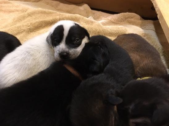 11-2 panda puppy