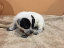 11-4 black and white panda pup