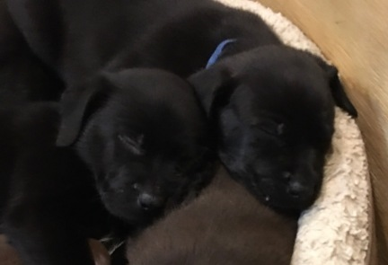 black lab puppies