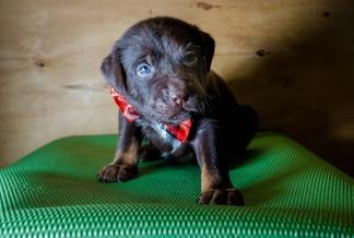 chocolate lab rescue puppy