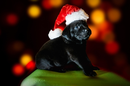Christmas foster puppy