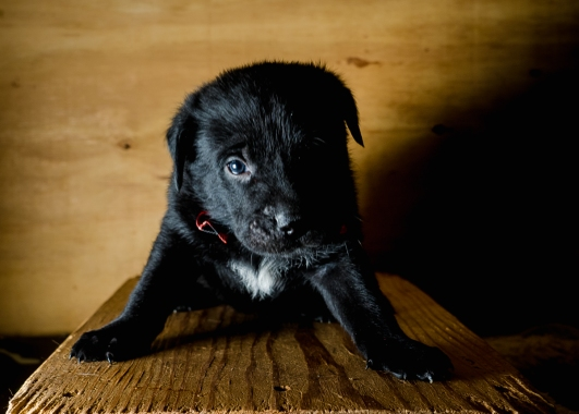 foster puppy black lab mix