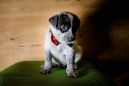 foster puppy from Pennsylvania shelter