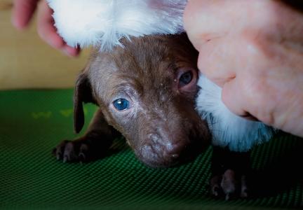 foster puppy with santa hat