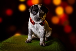 holiday shelter puppy