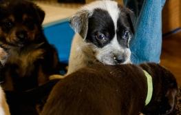 Keystone shelter puppy