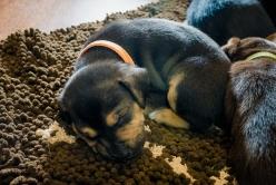 precious shelter puppy