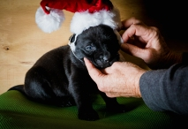 rescue foster puppy for Christmas