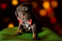 rescue foster puppy