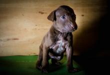 rescue puppy chocolate lab