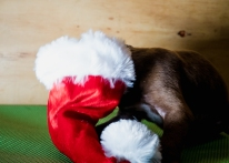 Santa hat too big for this rescue puppy