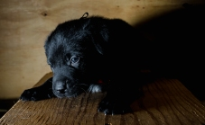 shelter black lab puppy