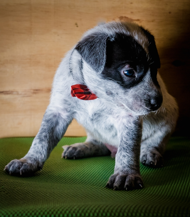 shelter puppy from pennsylvania