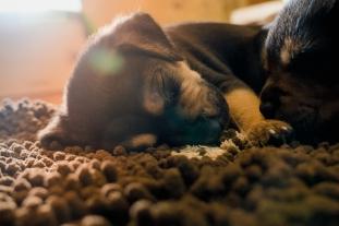 sleeping foster pupppy