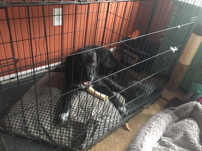 black lab in crate