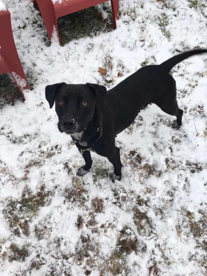 black lab mama in snow