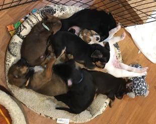 foster puppies
