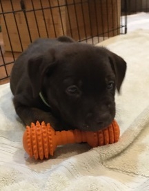 Hershey foster puppy with toy