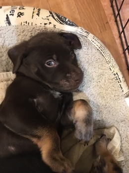 Hershey rescue puppy giving side eye