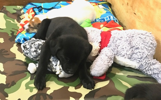 hoagie rescue puppy with stuffed animals