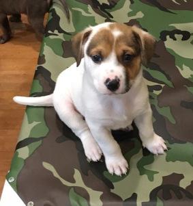 nittany foster puppy sitting