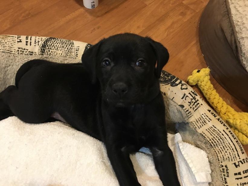 Seneca foster puppy