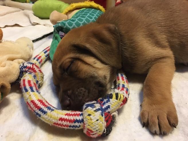 Utz sleeping rescue puppy